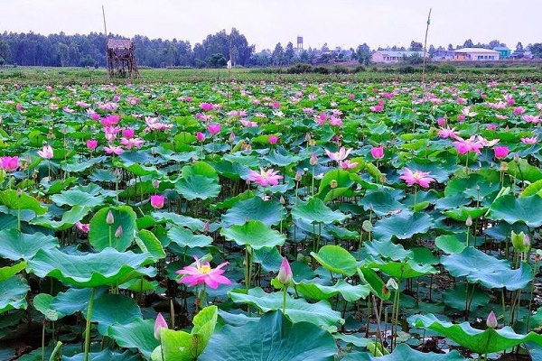 Hình ảnh cho thuê xe du lịch đi Đồng tháp trải nghiệm mùa nước nổi