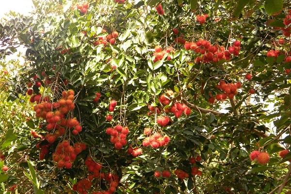 Miệt vườn ở cù lao Tân Quy
