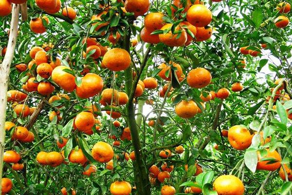 Oạch tạch những vườn trái cây trĩu quả