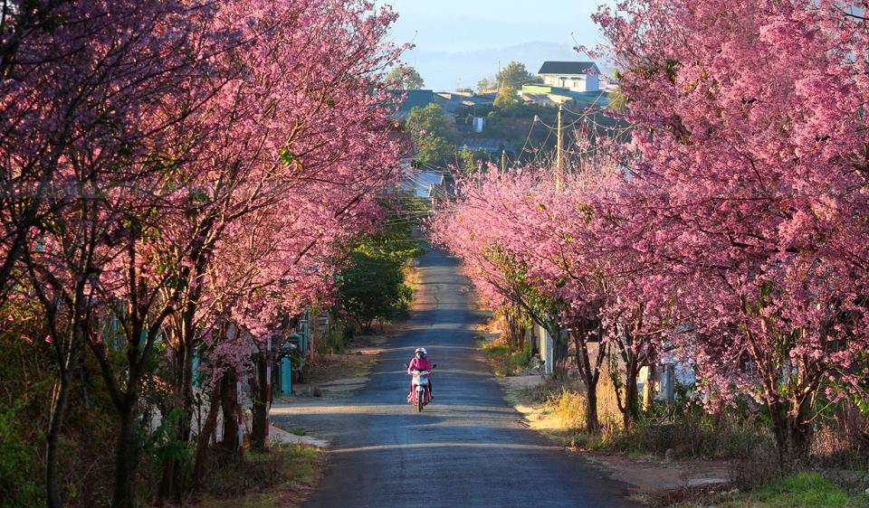 Mùa xuân hoa anh đào nở hồng khắp các con đường