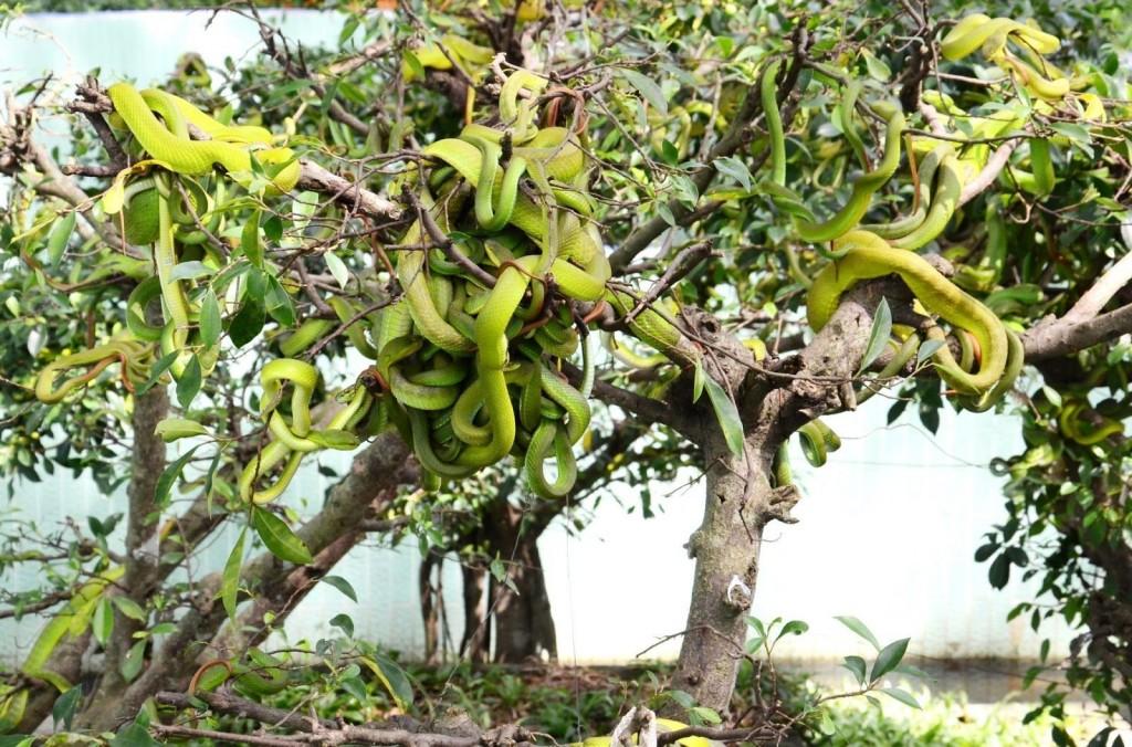 Trại rắn Đồng Tâm - nơi nuôi nhiều loại rắn quý hiếm