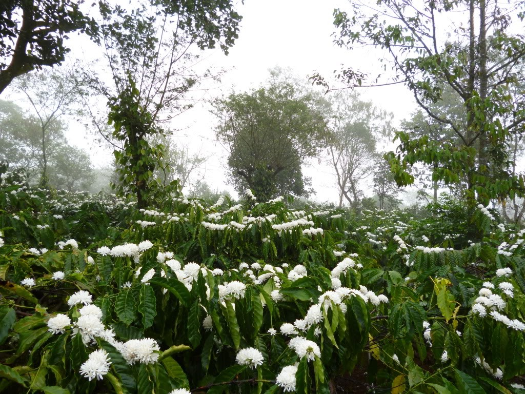 Hoa cafe bung nở khắp các khu vườn