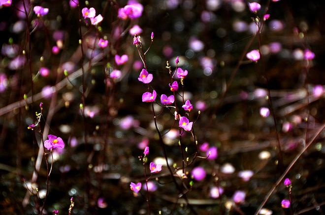 Những nhánh hoa nở tím phủ khắp một vùng