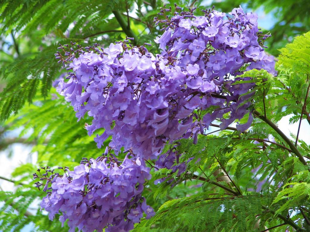 Những chùm hoa phượng tím rũ xuống nhẹ nhàng và buông lơi