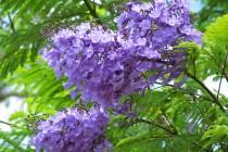 Cho thuê xe du lịch đi Đà Lạt ngắm hoa phượng tím