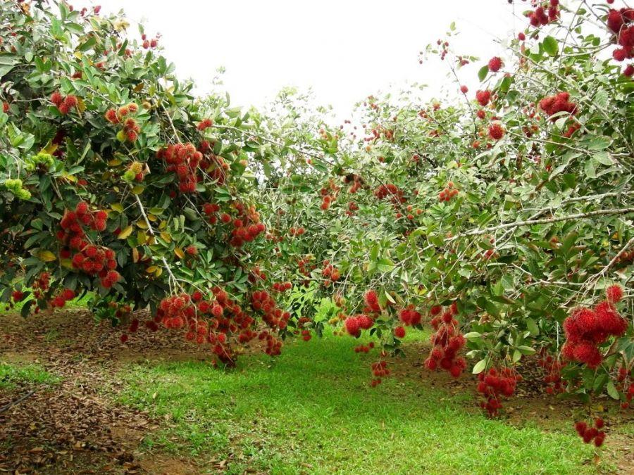 Hòa mình vào thiên nhiên ở vườn trái cây Trung An